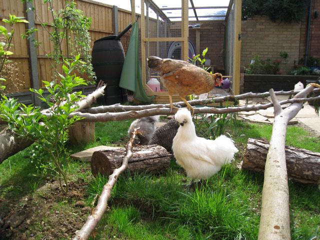 Omlet forums view topic chicken adventure playground pics for Cria de tilapia en casa