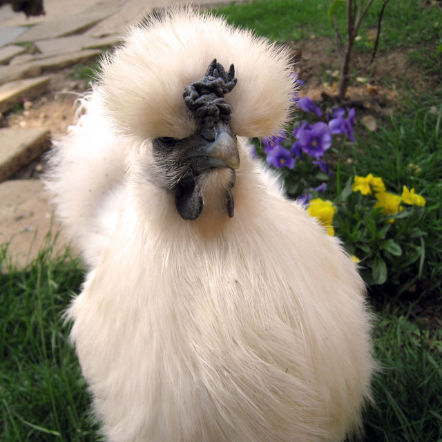how to make a silkie hen go broody